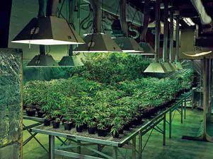 Cultivo de marihuana la marihuana for Cultivo interior marihuana