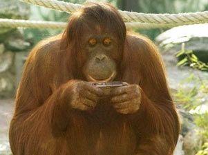 Q Es Un Orangutan Nonja  el orangutan fotografo