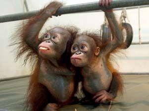 Q Es Un Orangutan El libro  que ya ha sido
