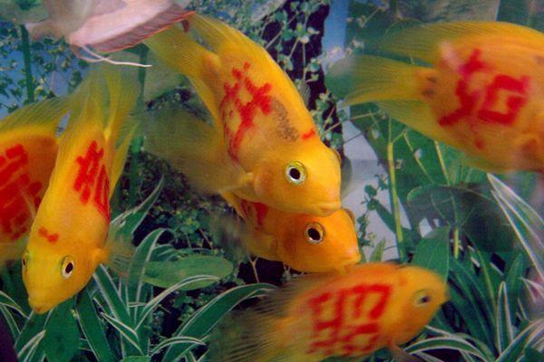 Mascotas y su entorno peces tatuados a la venta en china for Imagenes de peces chinos