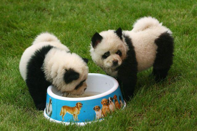 dos chow chow vestidos como osos panda en el dahe pet civilization