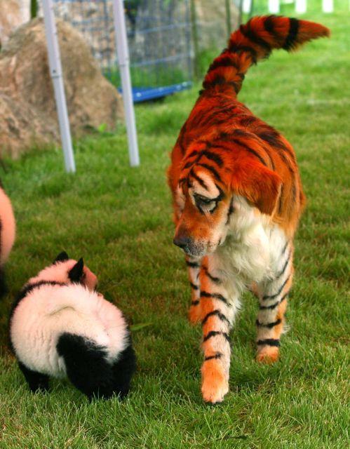 Un Golden Trevier como un tigre de Asia