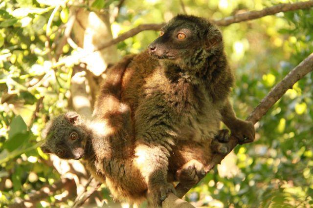 http://www.que.es/archivos/201007/lemur-de-cara-blanca-con-cria-640x640x80.jpg