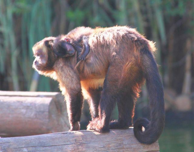 http://www.que.es/archivos/201007/mono-capuchino---madre-y-cria-640x640x80.jpg