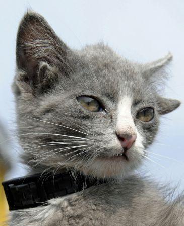 Luntik, el gato con cuatro orejas