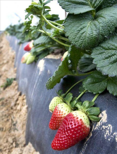 Vista de unas fresas de la variedad Camarrosa cultivadas en una ...