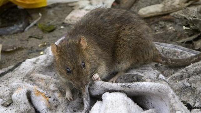 Desmantelada una red china que vend a carne de rata por for Piscina can drago horarios