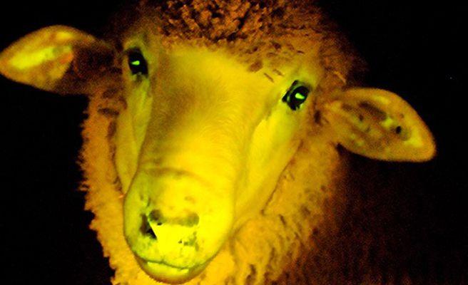 Nacen nueve ovejas fluorescentes en Uruguay