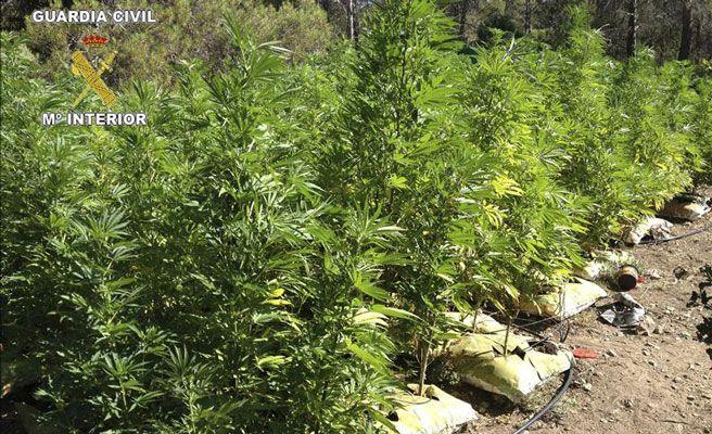 Desmantelan una nave dedicada al cultivo de marihuana a - Porros de hortensias ...