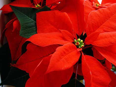 Consejos para cuidar las flores de pascua qu es - Que cuidados necesita la flor de pascua ...