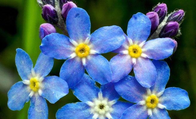Las flores m s bellas del mundo en primavera qu es - Porros de hortensias ...
