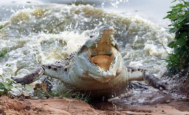 Un cocodrilo devora sin piedad a un niño delante de sus padres