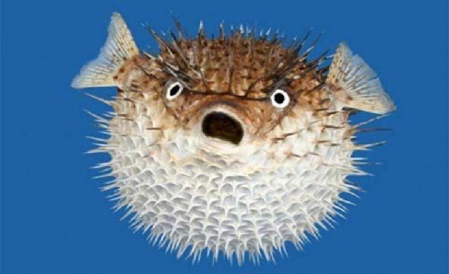 Αποτέλεσμα εικόνας για pez globo