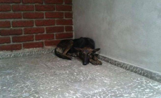 Una perra recorre 161 kilómetros para volver con su familia