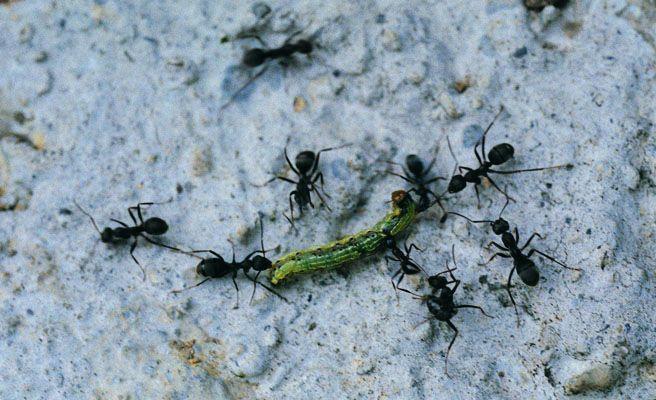 Un hombre sobrevive en el desierto comiendo hormigas