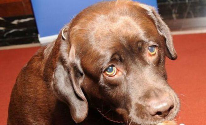 Un perro llamado Gatillo le pega un tiro a su dueña en el pie