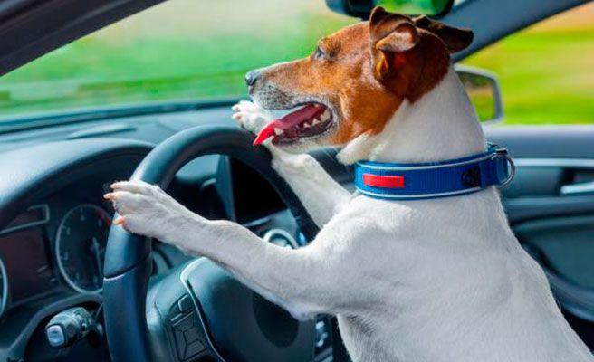 Un conductor borracho asegura que era su perro el que conducía el coche