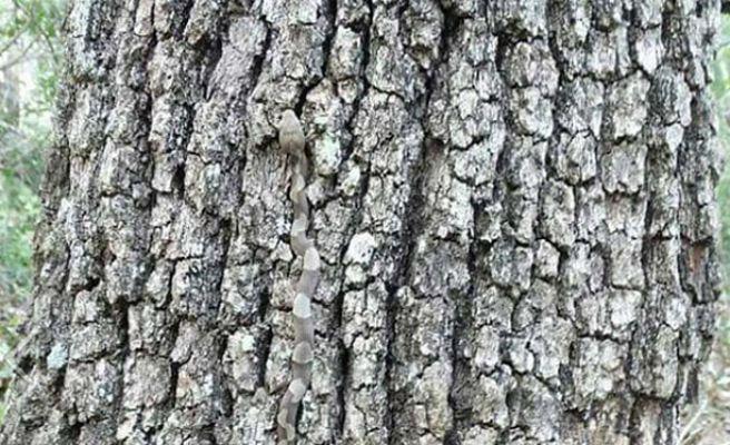 ¿Qué peligroso animal se esconde en el tronco del árbol?