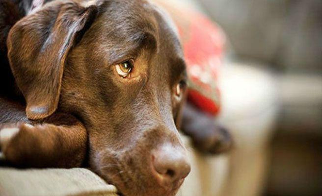Che, el perro que salvó a su dueña de un incendio