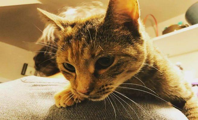 Se gasta 19 mil dólares para hacerle un trasplante a su gato moribundo