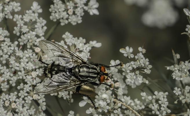 Investigadores españoles explican el misterioso origen de las alas en los insectos