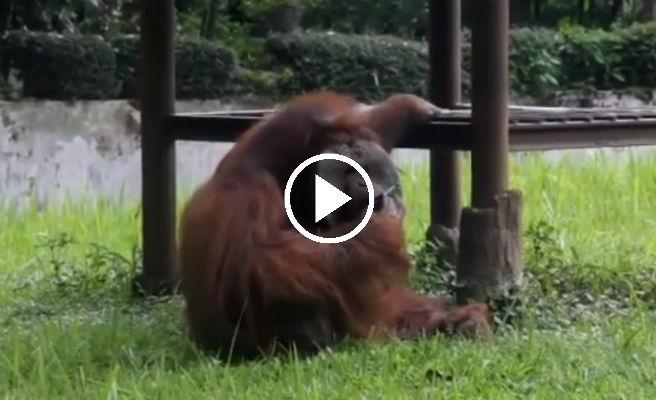 El orangután fumador que ha indignado a las redes sociales