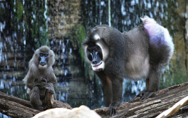 Nace un Dril en BIOPARC Valencia uno de los primates más amenazados de África