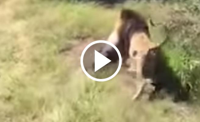 VIDEO | Un león ataca a su cuidador y lo arrastra por el cuello