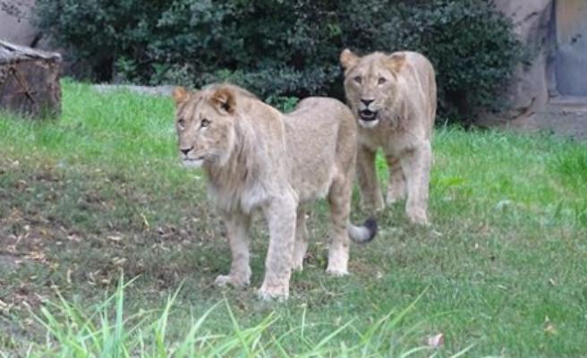 Se fugan dos leones, dos tigres y un jaguar de un zoológico en Alemania