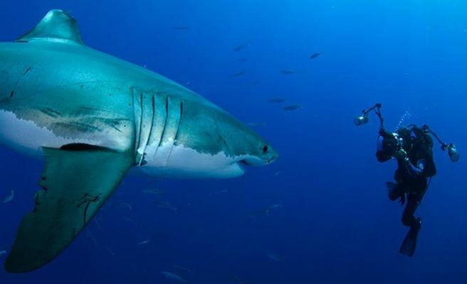 Un banco de peces rodea a un submarinista para protegerle del acoso de un tiburón ballena