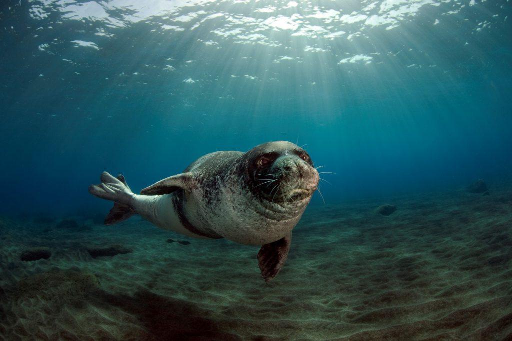 Resultado de imagen de La foca monje reduce su riesgo de extinción y vislumbra esperanzas gracias a la cooperación internacional