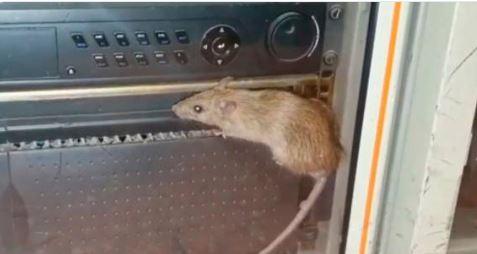 Denuncian la presencia de ratas en cuarteles de la Guardia Civil en Gran Canaria