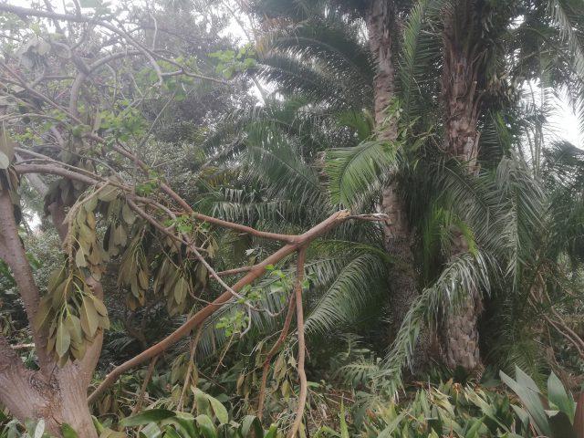 Resultado de imagen de El Jardín de Aclimatación de la Orotava permanecerá cerrado una semana debido a los destrozos provocados por el fuerte viento