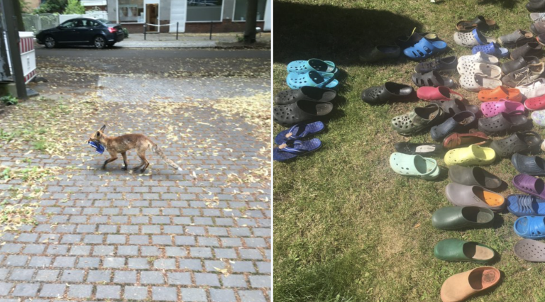 Un zorro roba un centenar de zapatos en Berlín
