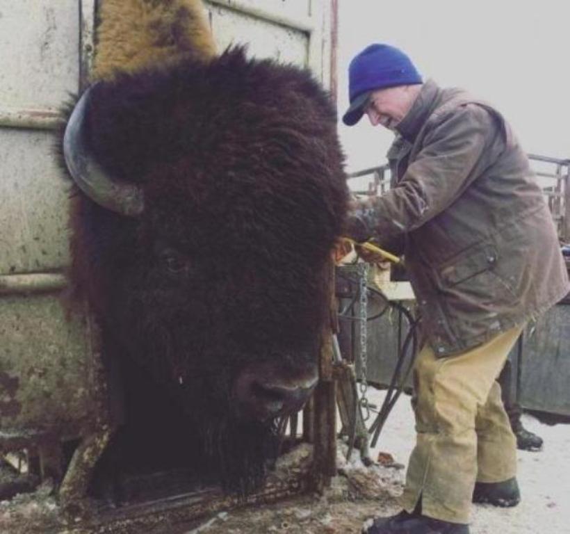 bison-tamano