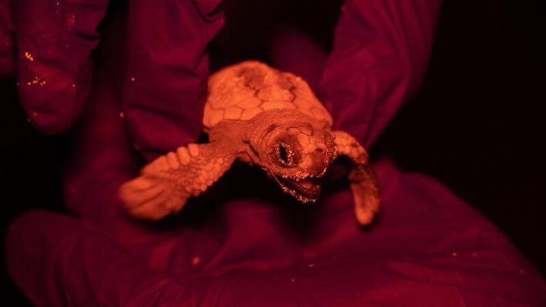 Nace en Menorca la primera tortuga marina documentada en una playa de Baleares