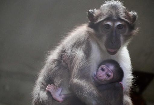 El Bioparc Valencia da la bienvenida a una cría del 'mono de la raya en el ojo' y una camada de mangistas enanas