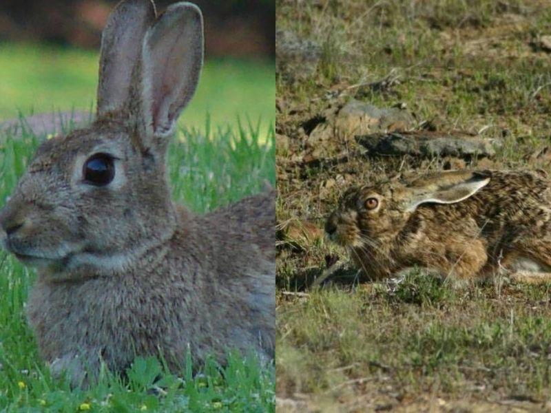 conejo-liebre