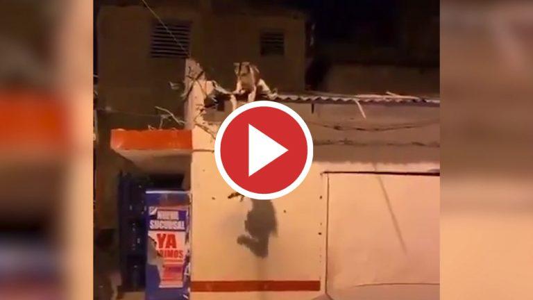 """""""¡Mufasa!"""": Brutal pelea de gatos callejeros que parece sacada del Rey León"""