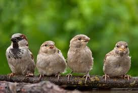 Los genes de las aves son iguales en ambos géneros pero funcionan diferente