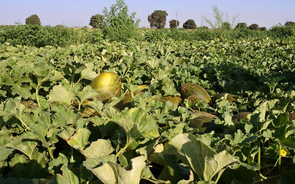 El cilantro y la caléndula mejoran la presencia de polinizadores en el cultivo del melón