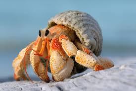 Descubierta una nueva especie de cangrejo ermitaño de hace 38 millones de años