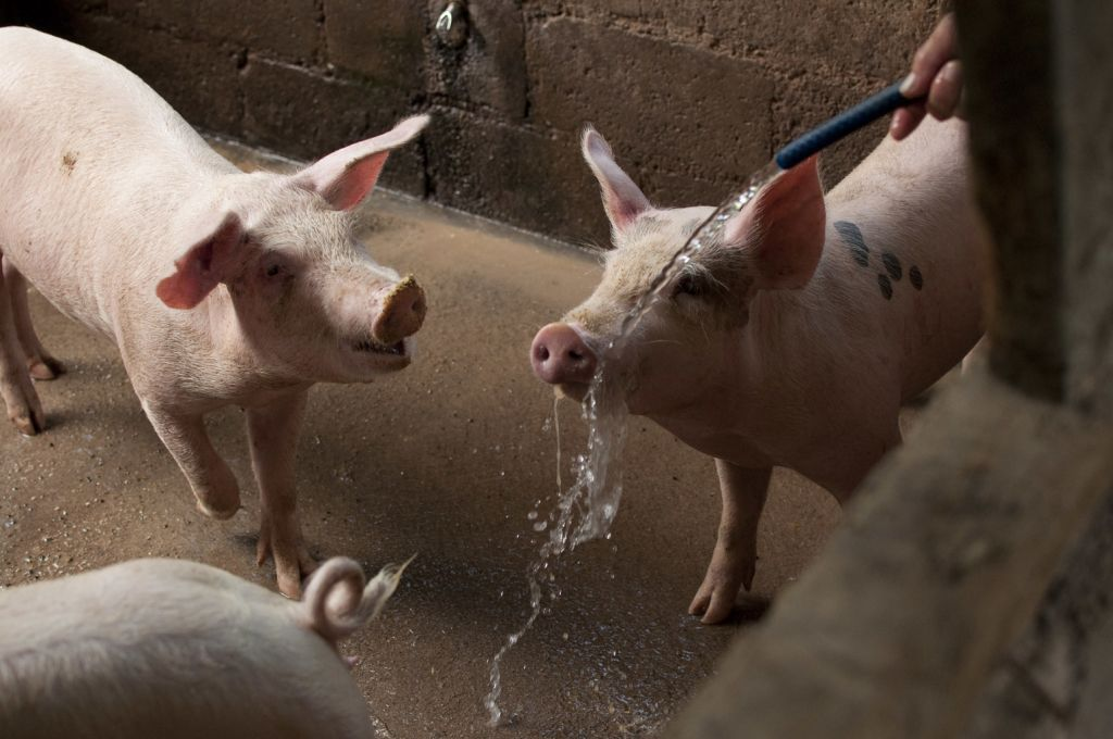 Una investigación denuncia la «explotación sistemática» del porcino en granjas en España