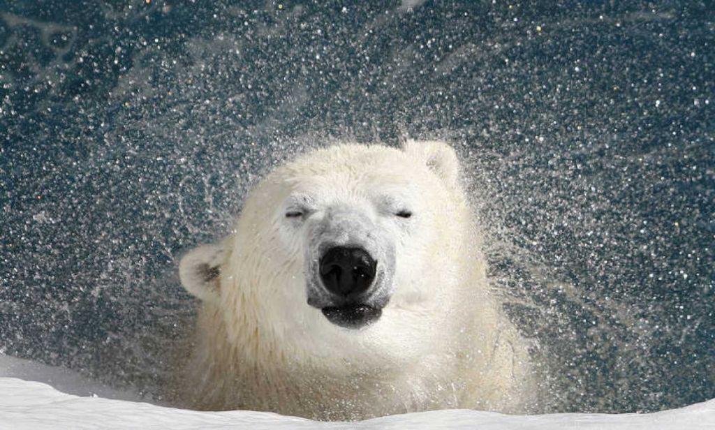 Los osos polares se convertirán en osos pardos