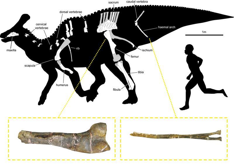 Nuevos fósiles de un dinosaurio con 'pico de pato' encontrados en los Pirineos
