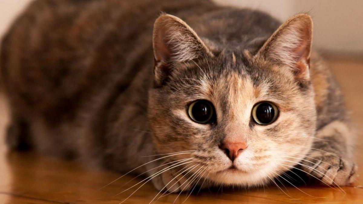 Los gatos pueden ser portadores asintomáticos