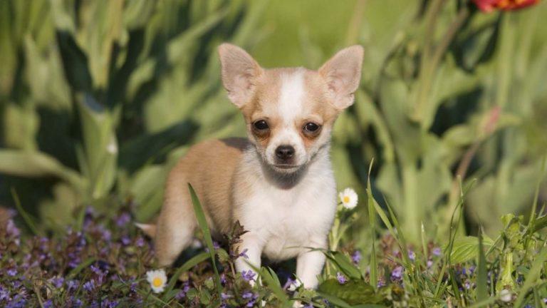 Si tienes esta raza de perro no lo sacarás de debajo de las sábanas