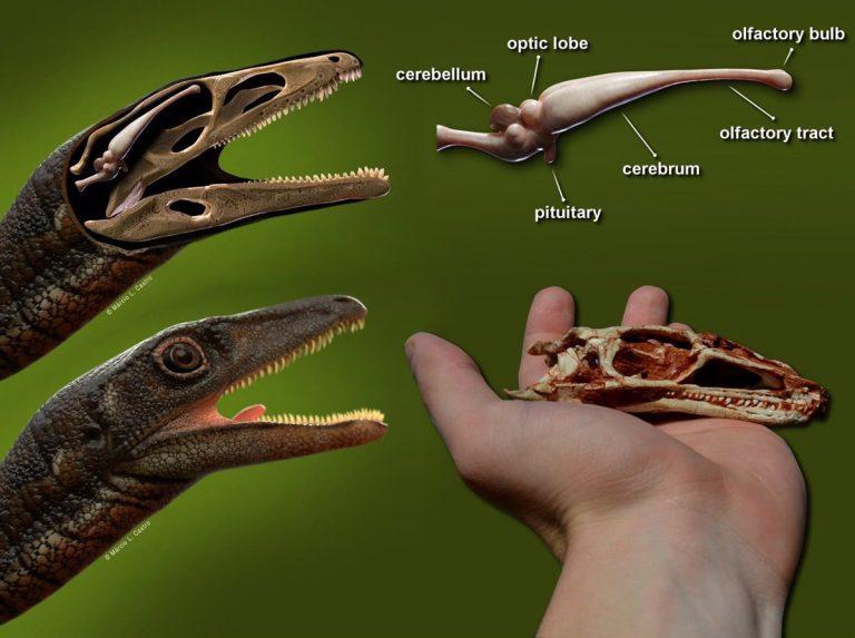No creerás cómo era el cerebro de un dinosaurio