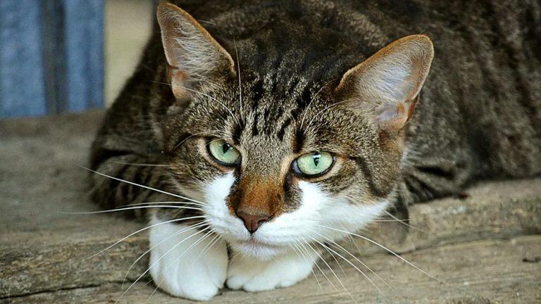 Motivos por los que un gato jadea (y no todos son buenos)