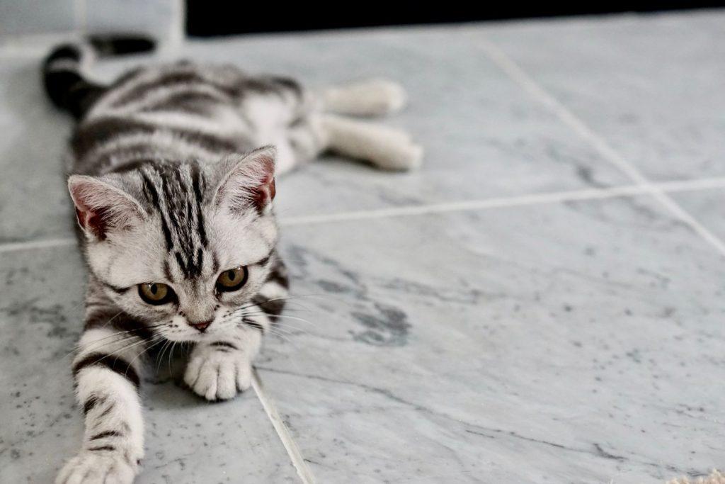 ¿Sabes lo que significa el ronroneo del gato?